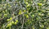Istra, Novigrad maslinik sa 250 maslina