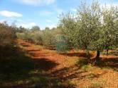 Umag - okolica, predivan maslinik