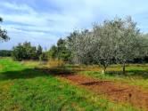 Poreč, Kaštelir - Maslinik 1100m2, 27 dvadesetogodišnjih maslina